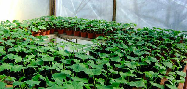 Подготовка огурцов к посеву