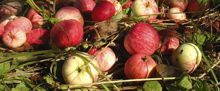 Опадают яблоки