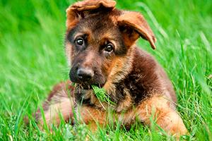 Чем кормить немецкого щенка