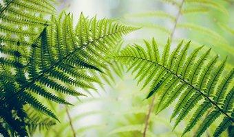 Папоротник – посадка, уход и цветение в саду