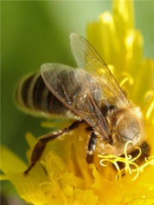 Пчелиный подмор при онкологии