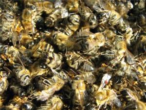 Противопоказания пчелиного подмора