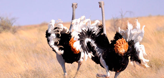 PETA потребовали у Prada прекращения использования страусиной кожи для сумок
