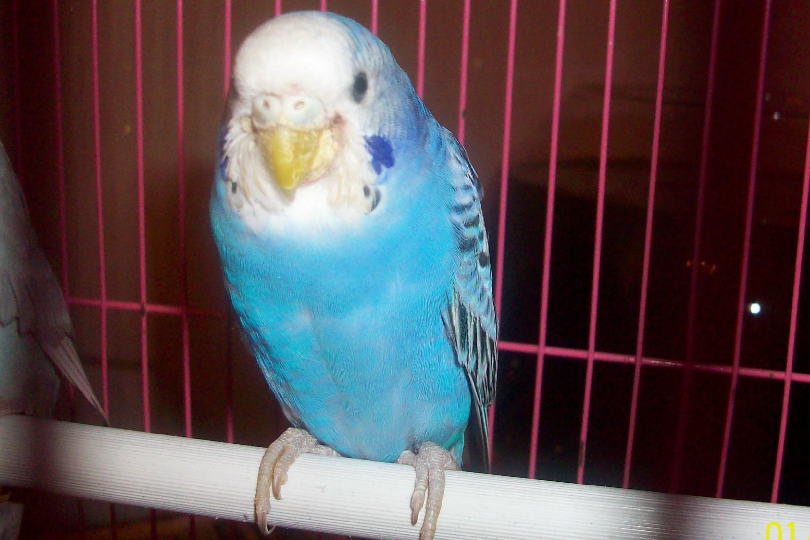 У попугая выпадают перья картинки