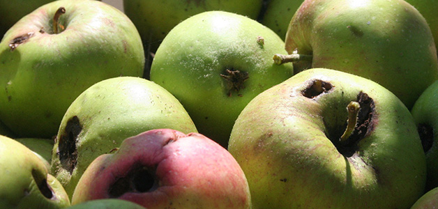 Плодожорка - методы борьбы с вредителем