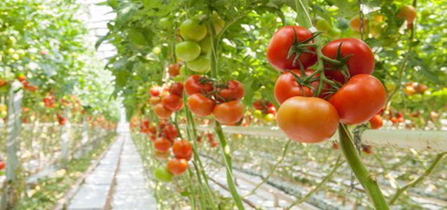 плохо растут помидоры в теплице