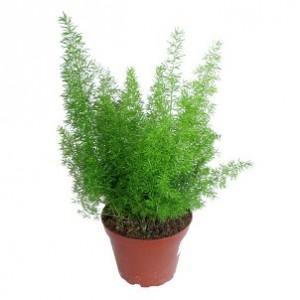 растение апсарагус