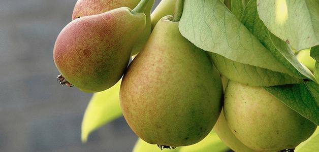 Польза груш