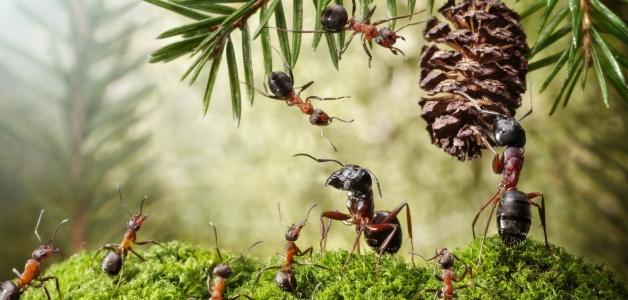 польза муравьев в саду