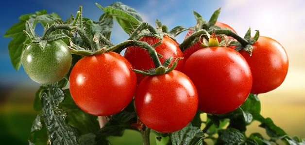 Помидоры - польза, вред и противопоказания томатов