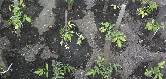 Посадка помидоров в теплицу