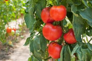 Колышки для подвязки помидоров