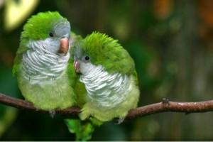 Каких попугаев легче научить говорить