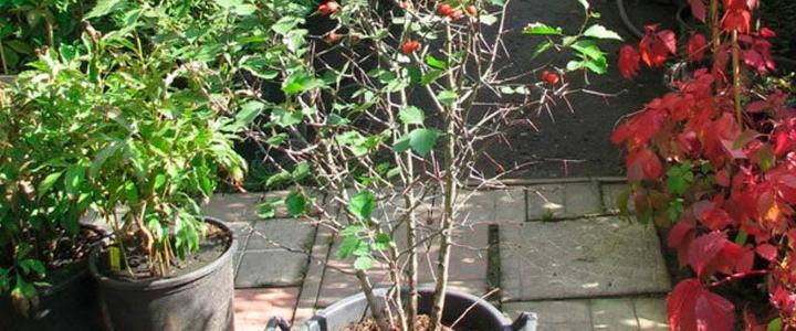 посадить боярышник осенью