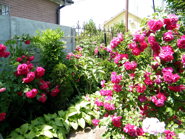 Секреты выращивания роз на даче 1