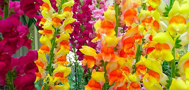 Посадка и выращивание гладиолусов - правила ухода за красивыми цветами