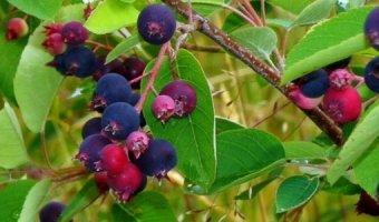 Ирга – посадка, выбор саженцев и выращивание