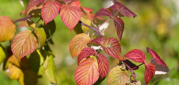 сажать малину осенью