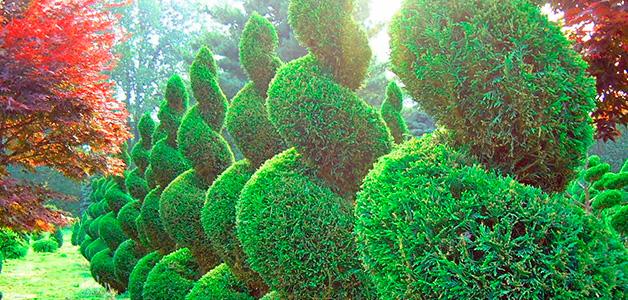 Посадка хвойных кустарников