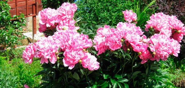 Как пересадить пионы летом на другое место
