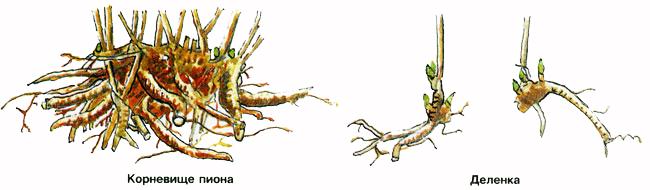 Пересадка пионов осенью