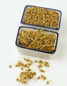 проращивание пшеницы
