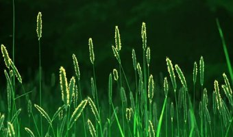 Пырей – состав, полезные свойства и противопоказания