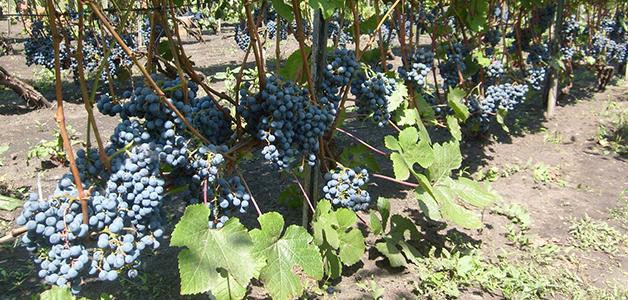 Ранний сорт винограда надежда