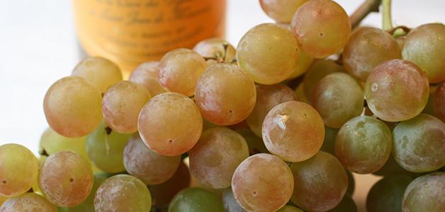 Сорт винограда экспресс ранний