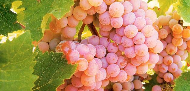 Ранние сорта винограда: особенности выращивания