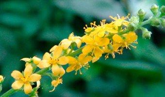 Репешок – полезные и лечебные свойства репешка