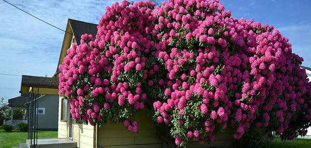 Рододендрон садовый посадка