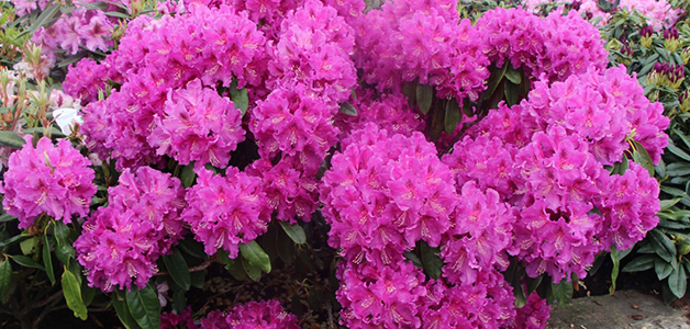 Рододендрон - посадка и уход за красивым растением