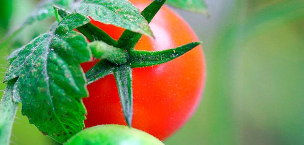 Скручиваются листья у помидоров: что делать, причины