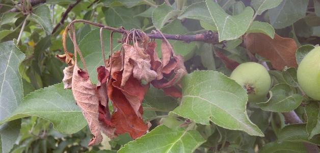 Сохнут и скручиваются листья на яблоне