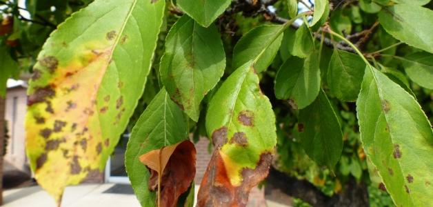 Сохнут листья и плоды на яблоне