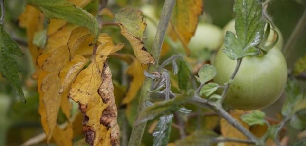 Сохнут и скручиваются листья у помидоров