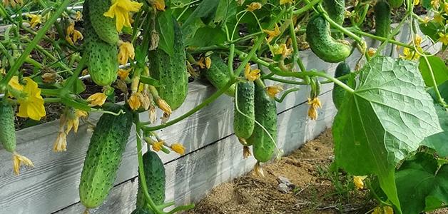 Урожайные сорта огурцов для открытого грунта