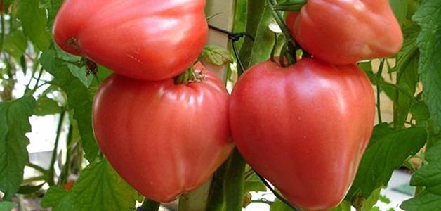 Устойчивые сорта томатов для открытого грунта