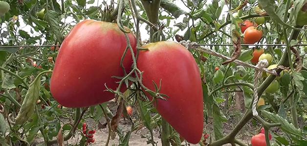 Сорта томатов для открытого грунта Подмосковья