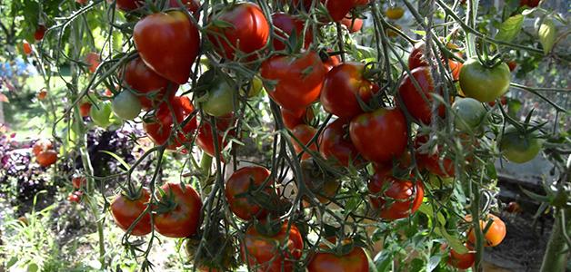 Сорта томатов для Сибири открытого грунта