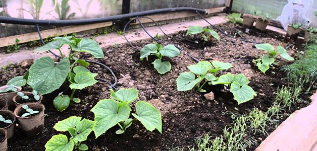Посадка тыквы в грунт