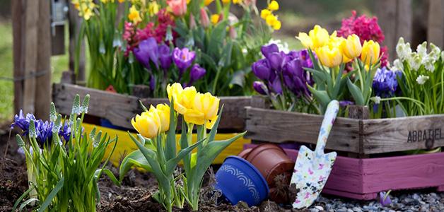 Уход за тюльпанами в открытом грунте