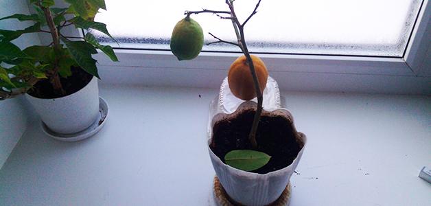 У лимона опадают листья