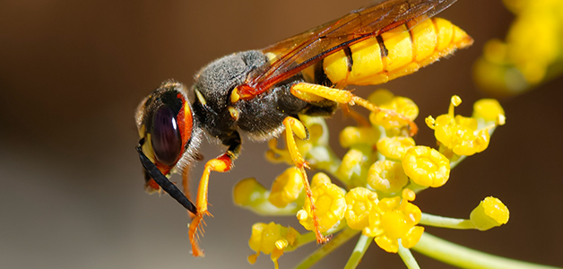 Отличие осы от пчелы