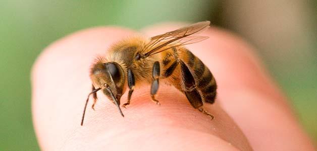 Укус пчелы - симптомы, первая помощь и последствия