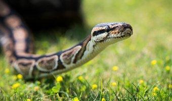 Укус змеи: признаки и первая помощь