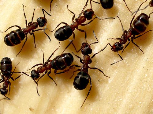 Чем потравить домашних муравьев