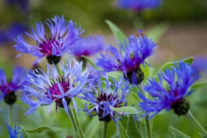Цветы василька лечебные свойства