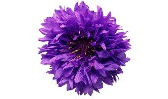 Василек – состав, полезные свойства и противопоказания